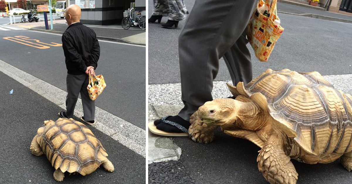 elderly-man-walking-pet-african-spurred-tortoise-sulcata-tokyo-japan-fb