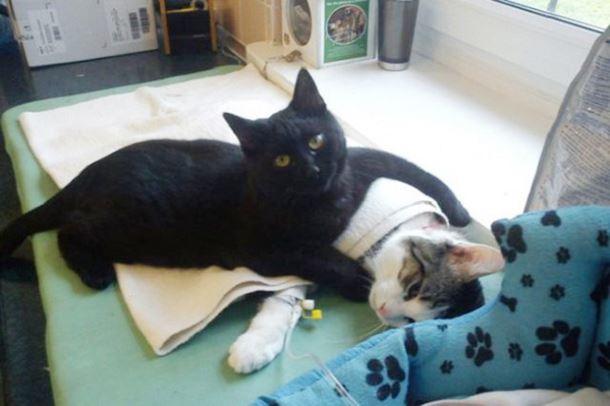 gatto-infermiere3