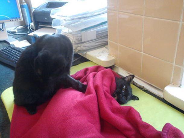gatto-infermiere5