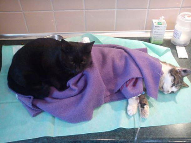 gatto-infermiere8