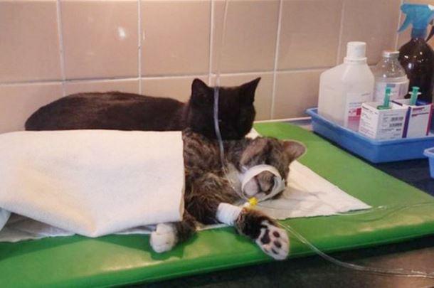 gatto-infermiere9