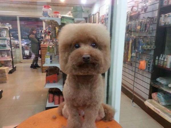 nuova-tendenza-tra-i-cani-taiwanesi-il-taglio-squadrato-del-pelo-del-muso2
