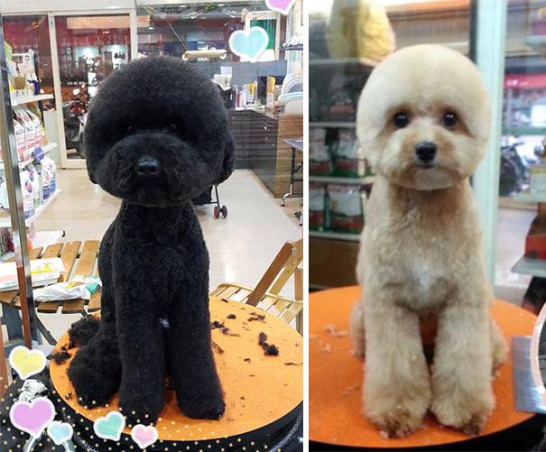 nuova-tendenza-tra-i-cani-taiwanesi-il-taglio-squadrato-del-pelo-del-muso8
