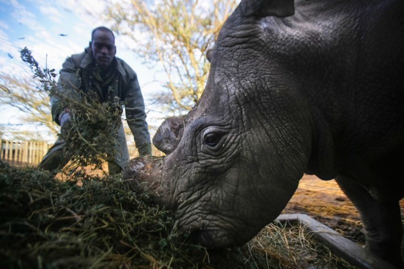 rinoceronte-bianco3
