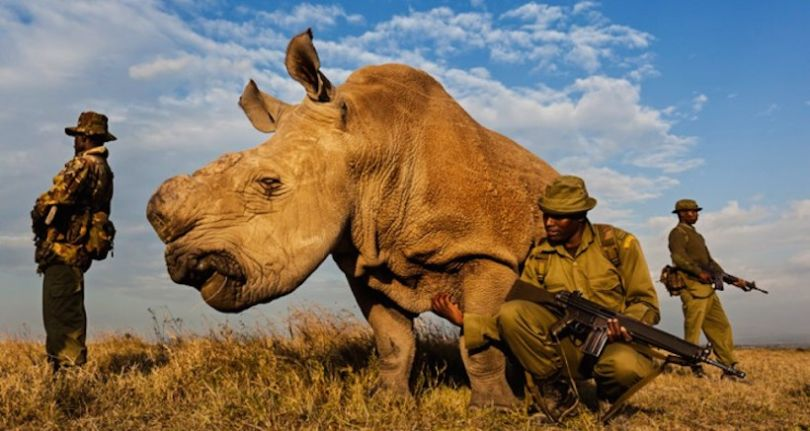 rinoceronte-bianco5