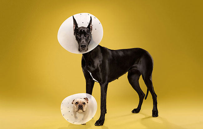 Adorable-portraits-show-how-dogs-despise-wearing-the-cone-of-shame3-650x413