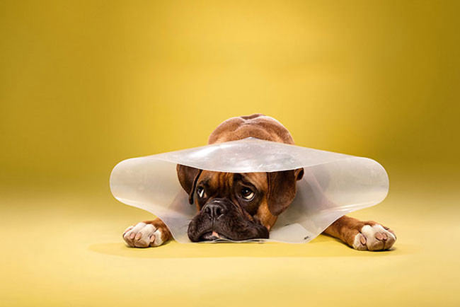 Adorable-portraits-show-how-dogs-despise-wearing-the-cone-of-shame6-650x434