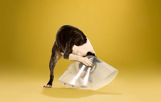 Adorable-portraits-show-how-dogs-despise-wearing-the-cone-of-shame7-650x413