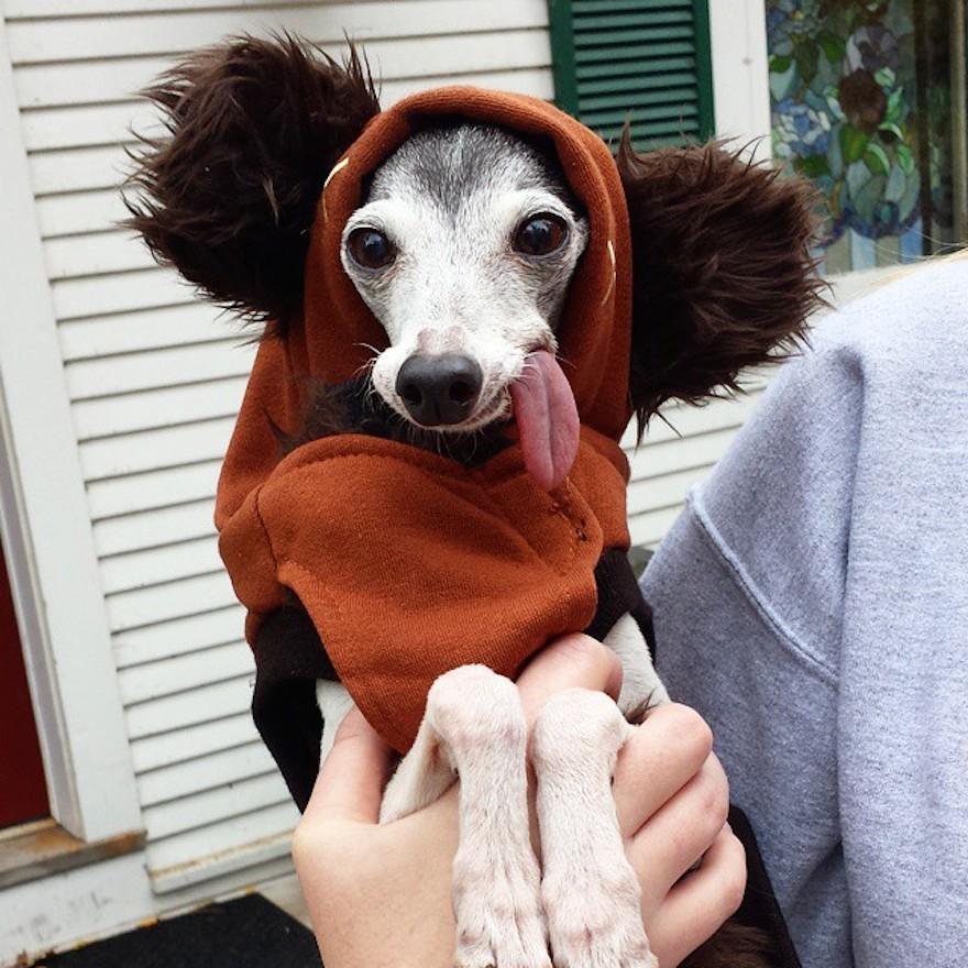 derpy-dog-greyhound-sticking-tongue-zappa-210