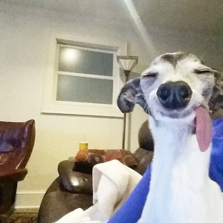 derpy-dog-greyhound-sticking-tongue-zappa-49