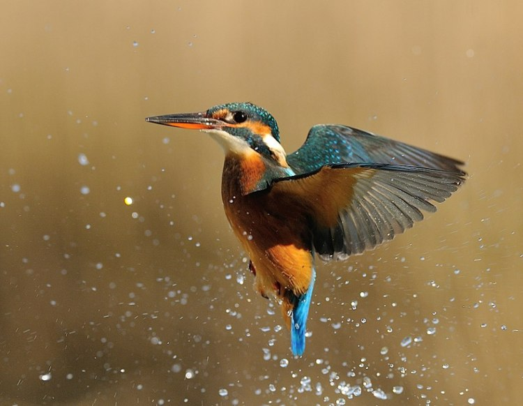 Diving-Kingfisher1