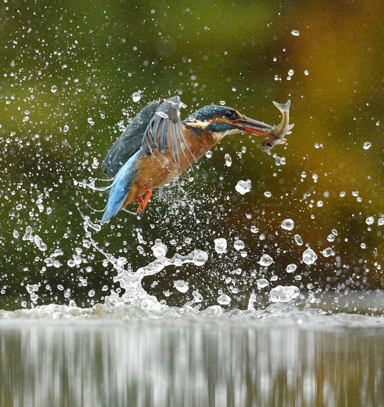 Diving-Kingfisher2