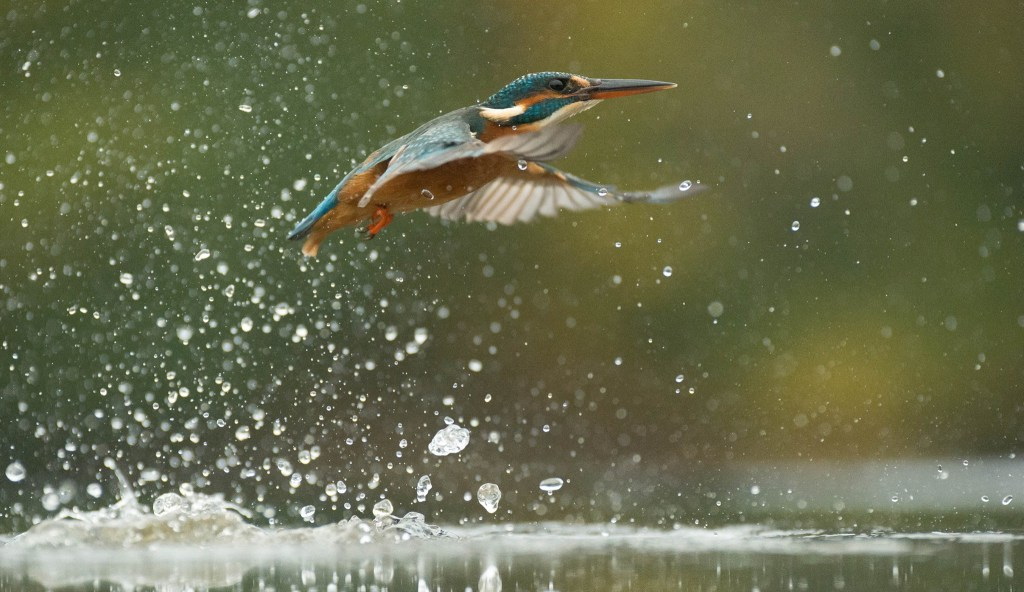 Diving-Kingfisher3