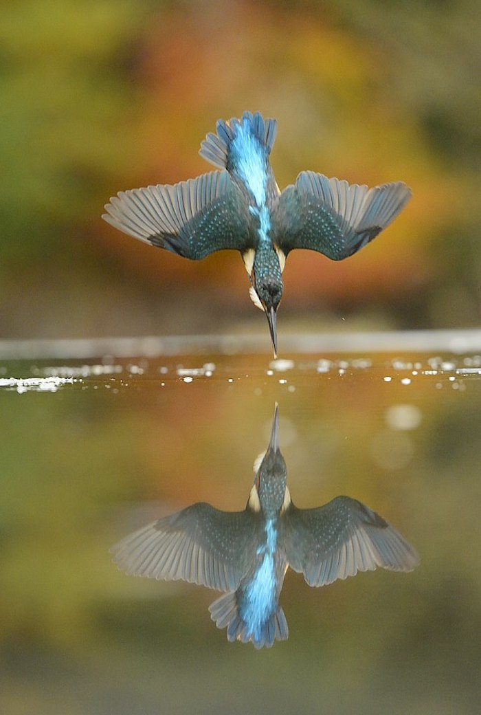 Diving-Kingfisher5