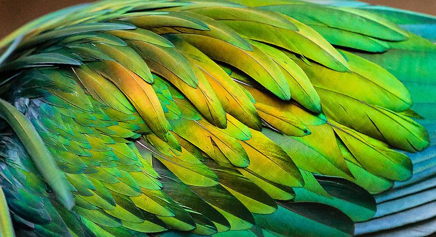 nicobar-pigeon-colorful-dodo-relative-11-1