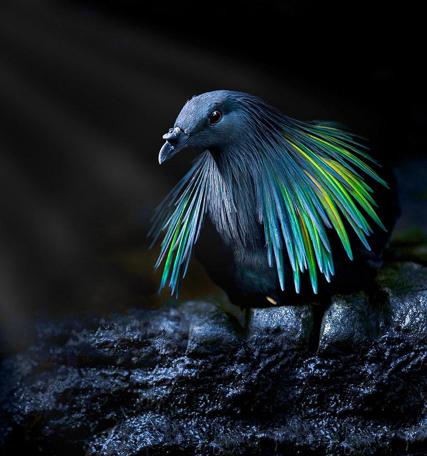 nicobar-pigeon-colorful-dodo-relative-9-2