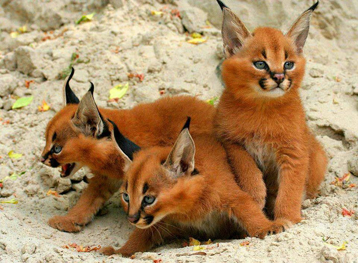 cute-baby-caracals-2-57fb5871edb25__700