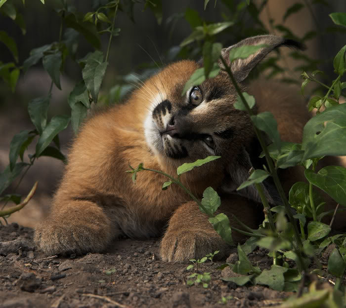 cute-baby-caracals-25-57fb79bbac45d__700