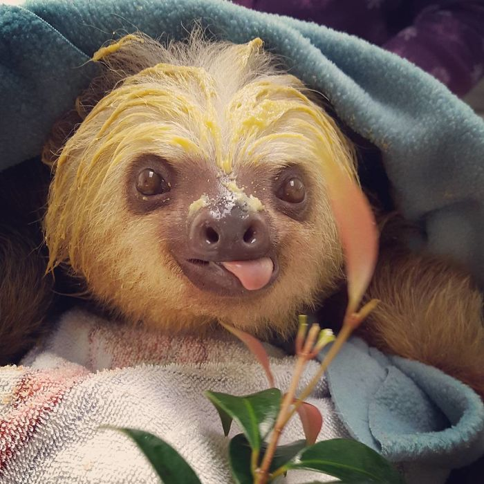 cute-sloths-57ee6a85754a3__700