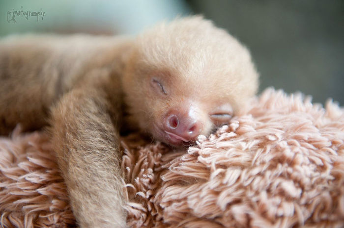 cute-sloths-57ee6c0285399__700