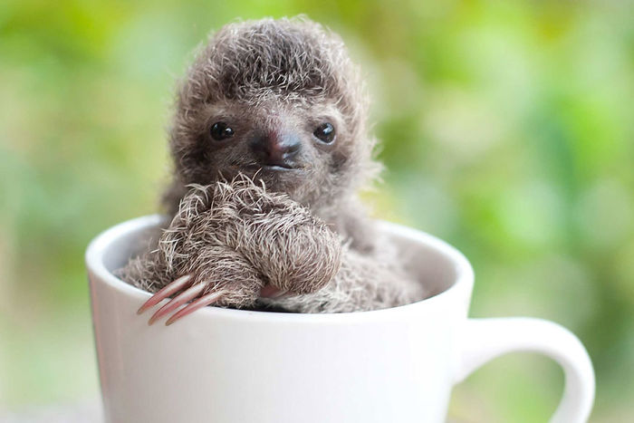 cute-sloths-57ee6c077b1d2__700
