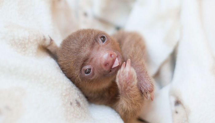 cute-sloths-57ee6c1bcf423__700