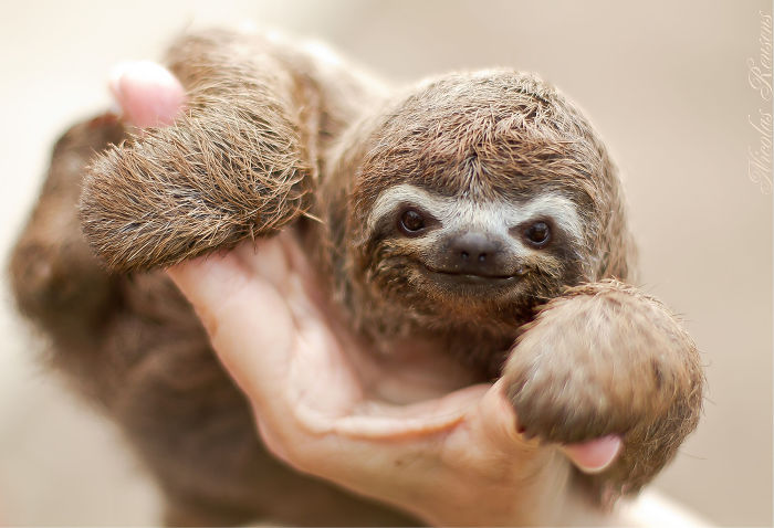 cute-sloths-57ee6f1dc9b66__700