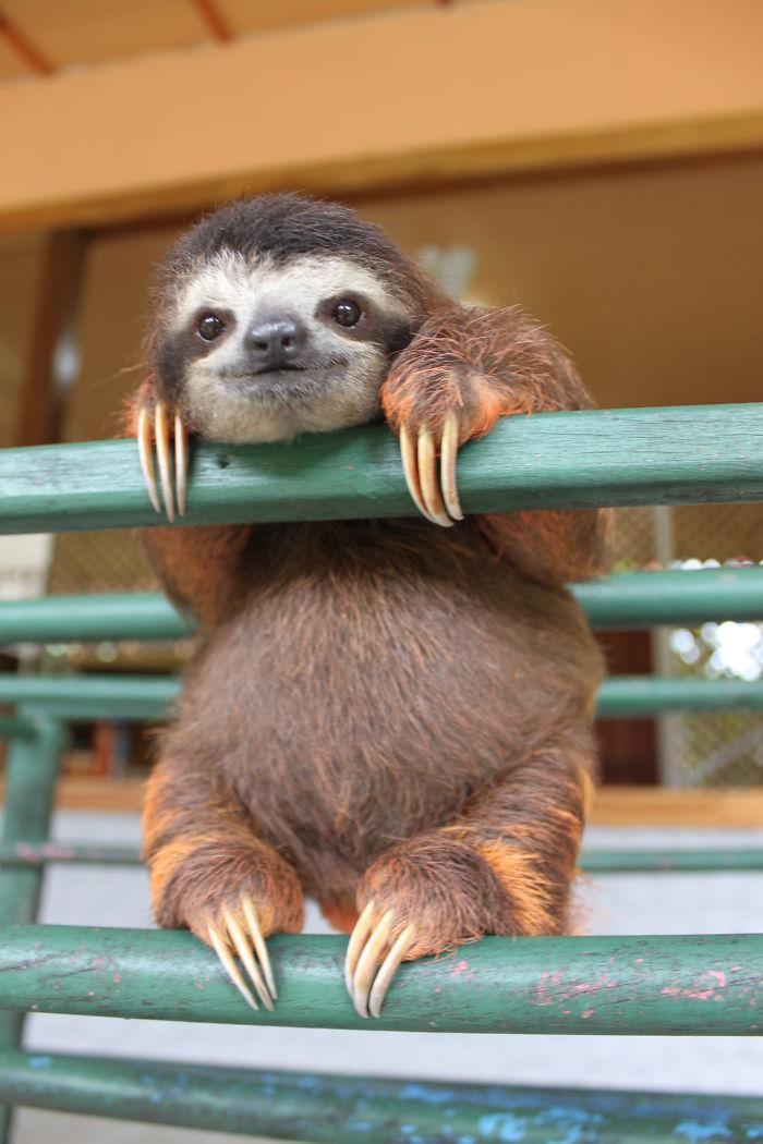 cute-sloths-57f269182f5ab__700