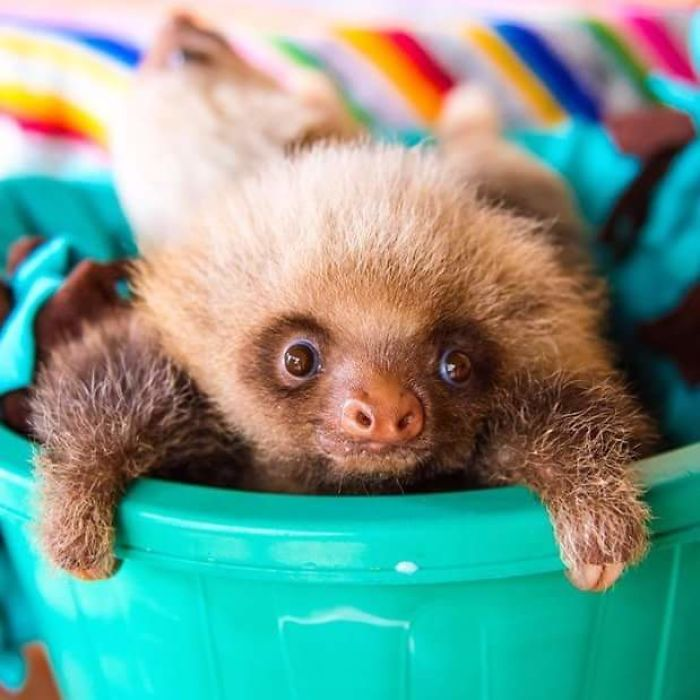cute-sloths-58062fb46fd72__700