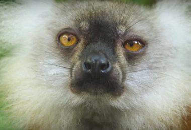 lemuri high