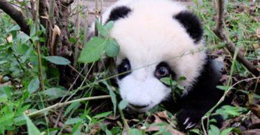 panda tenerezza