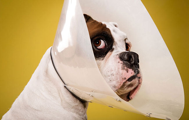 Adorable-portraits-show-how-dogs-despise-wearing-the-cone-of-shame2-650x413