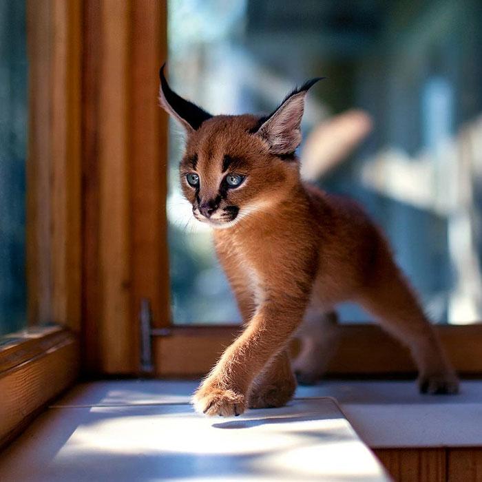 cute-baby-caracals-1-57fb57c17ee61__700