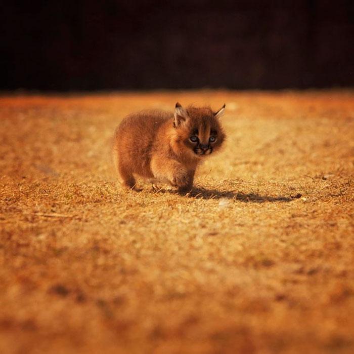 cute-baby-caracals-15-57fb60d33d302__700