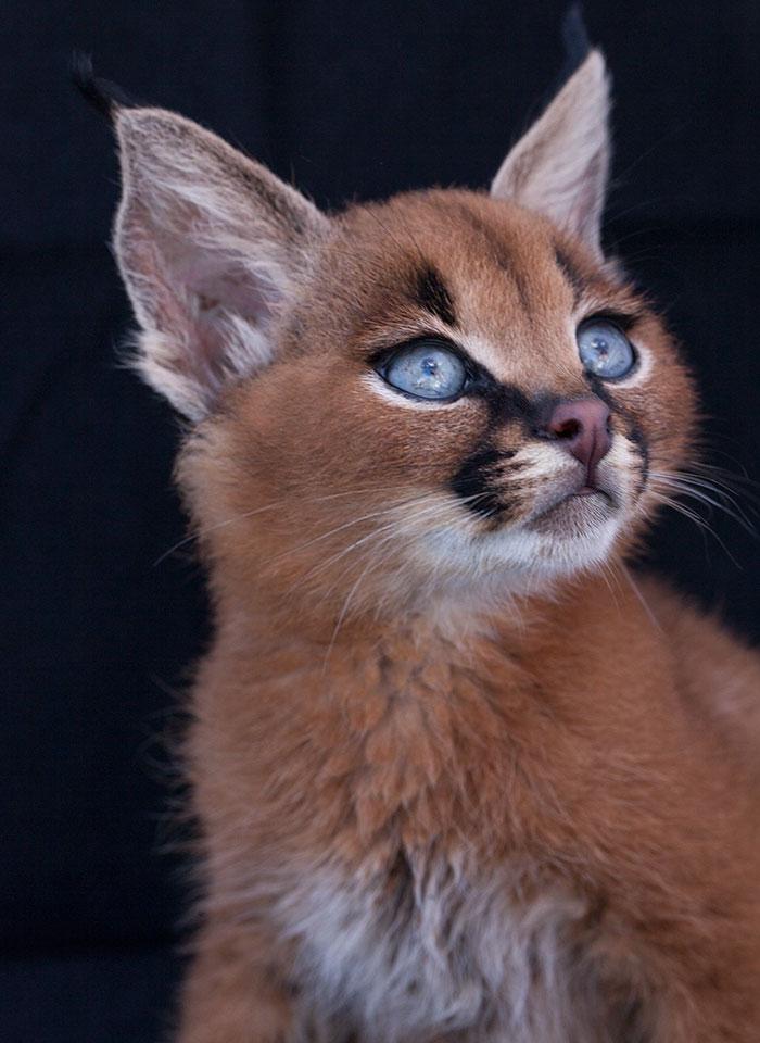 cute-baby-caracals-6-57fb5c41e28e0__700