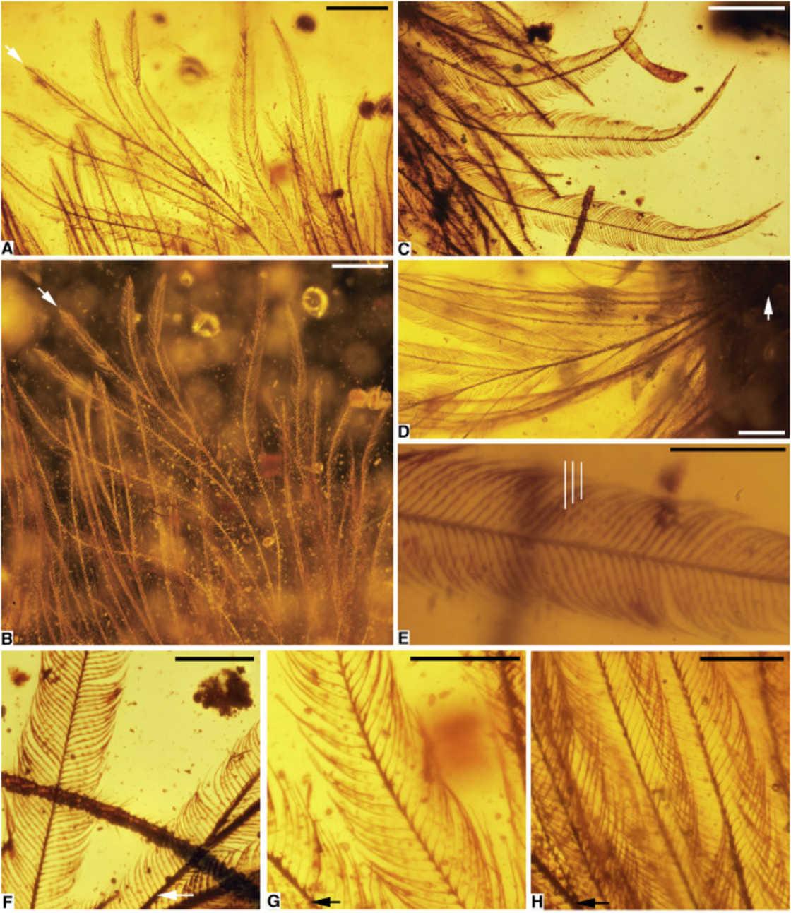 queue-de-dinosaure-plume-ambre-6