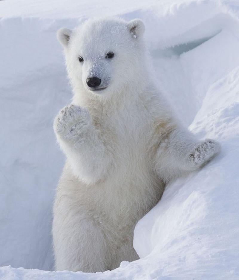 Scoperta da zoologi una nuova popolazione di 3mila orsi polari in ottima salute