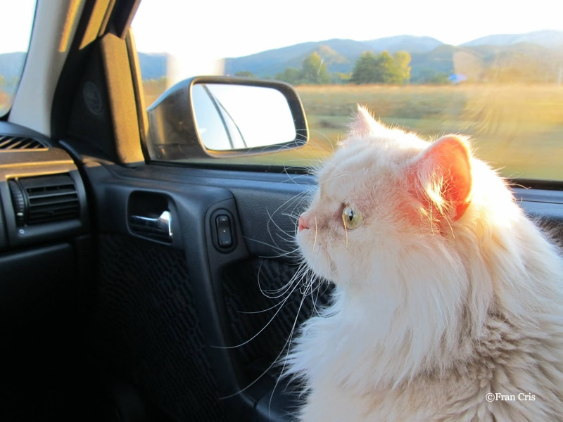 Il gatto si perde e torna a casa con Bla Bla Car