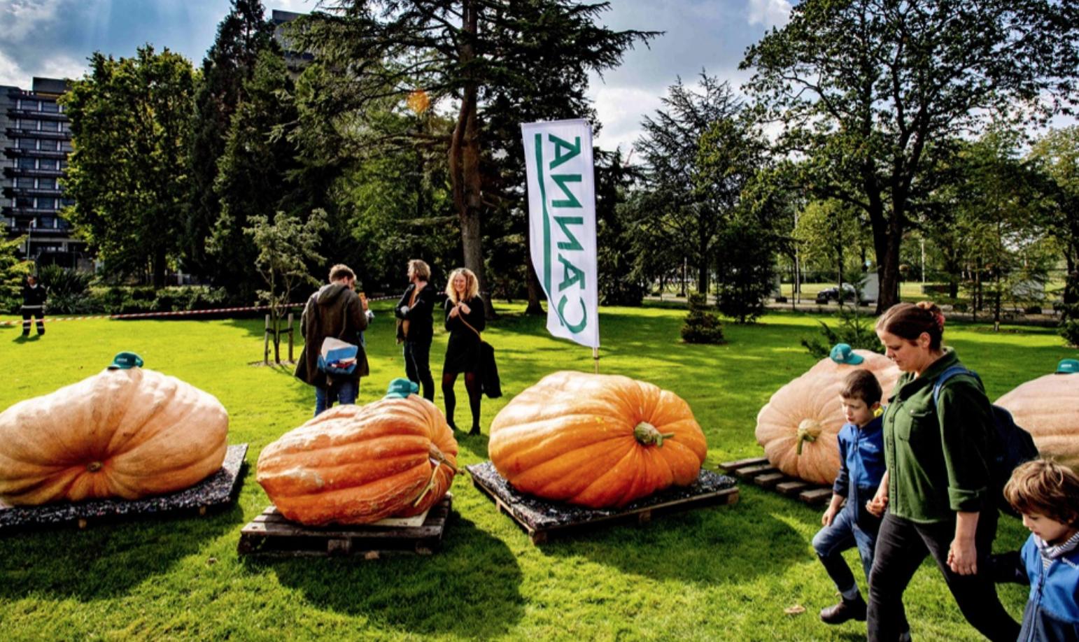 Il campionato olandese di zucche giganti
